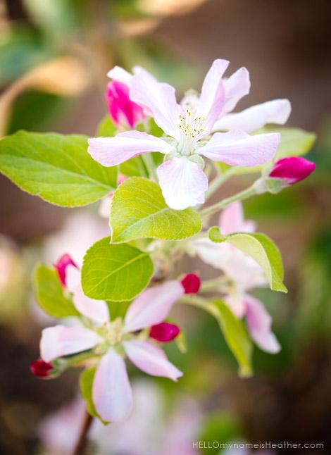 AppleBlossom_470h